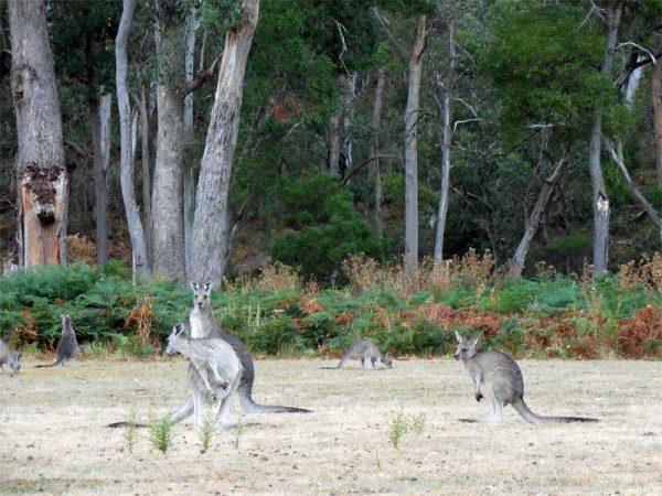 Kängurus auf einem Campingplatz in Australien