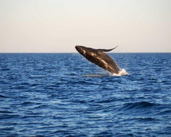 Wal Beobachtung an der Coral Coast