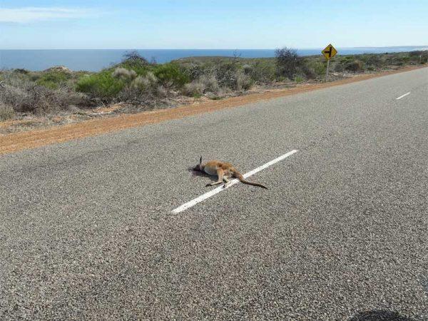 Überfahrenes Känguru