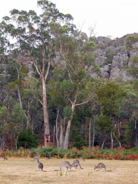 Kängurus auf einem Campingplatz an der Küstenroute von Melbourne nach Sydney