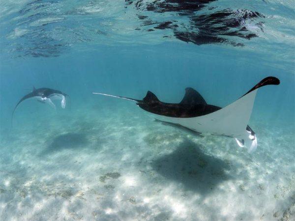 Mantaray Swim Exmouth