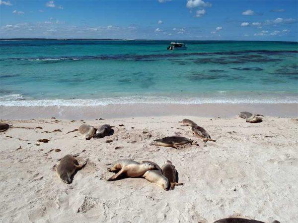 Seelöwen am Strand in Jurien Bay
