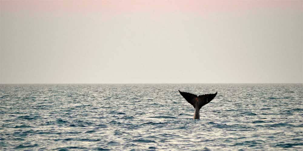 Wale Fluke im Meer bei Exmouth, Australien