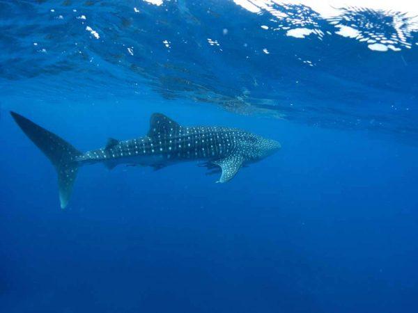 Whale Shark am Ningaloo Reef