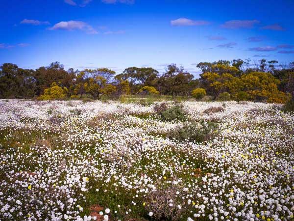 Wildblumen in Mullewa