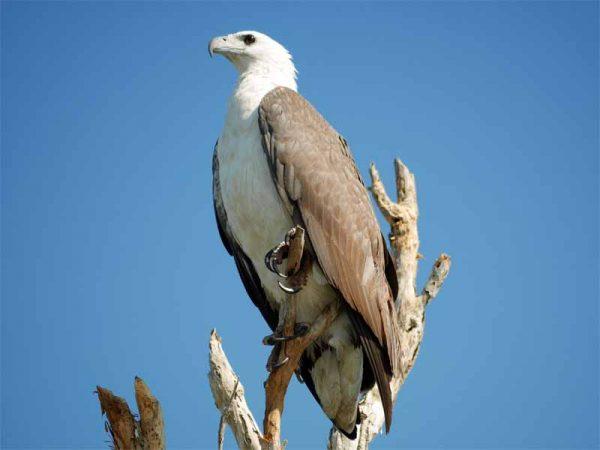 White bellied Sea-Eagle auf der Yellow Water Cruise im Kakadu Nationalpark