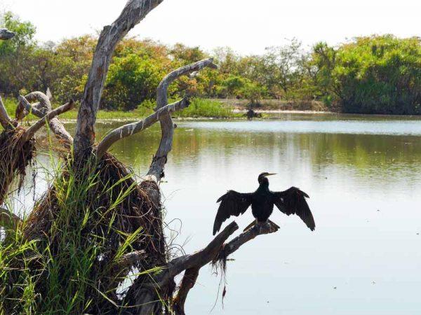 Australasian Darter beim Flügel trocknen