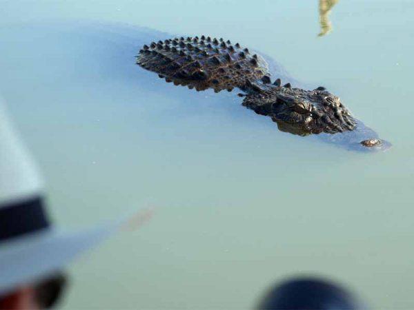 Salzwasser Krokodil auf der Yellow Water Cruise