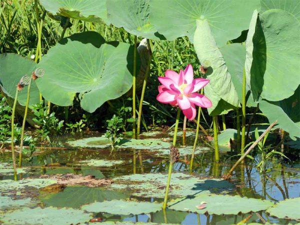 Sacred Lotus auf der Yellow Water Cruise