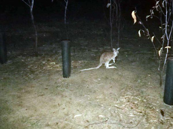 Erstes Känguru in freier Wildbahn