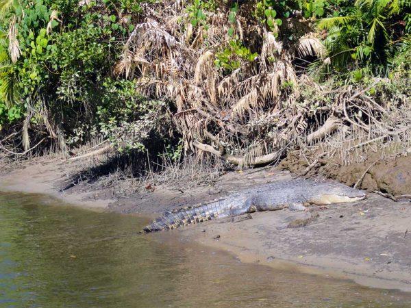 Krokodil im Mangroven Sumpf in Australien