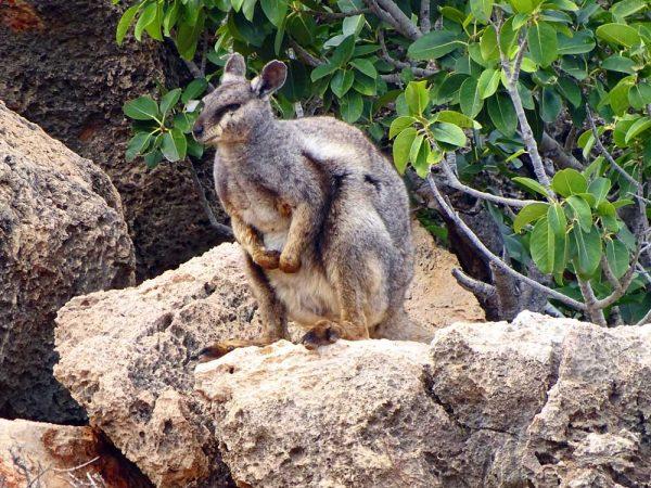 Schwarzpfoten Felskänguru in der Yardie Creek Gorge, Western Australia