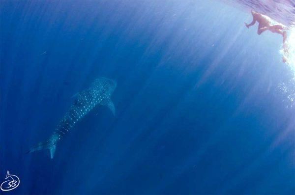 Schwimmen mit Walhaien am Ningaloo Reef, Coral Coast, Western Australia