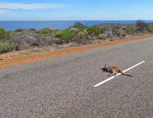 Überfahrenes Känguru auf australischer Landstraße